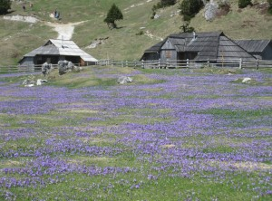 Krokusteppich auf der Velika Planina