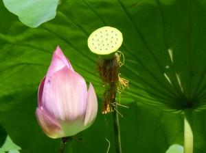 Lotusbluete Hangzhou