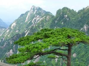 smaragdgruene Kiefer Huang Shan
