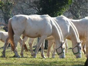 Pferde auf der Weide - Lipica - Slowenien