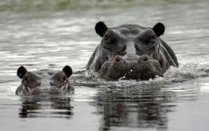 Botswanas lodges Flusspferde
