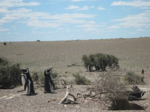 Punta Tombo Pinguine
