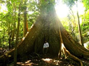 Baumriese im Floresta Nacional do Tapajos